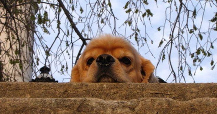 Como tratar uma infecção bacteriana no ouvido de um cão. Infecções de ouvido são muito comuns em cães que nadam com freqüência ou que têm orelhas dobradas e pesadas. Orelhas dobradas criam um ambiente escuro e úmido que propicia infecção por fungos e bactérias. Embora infecções fúngicas sejam tratadas com remédios caseiros, só o veterinário pode tratar de infecções bacterianas.