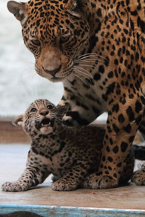 19 Best Images About Leopards Cheetahs And Jaguars On Pinterest Beautiful Animals And Eyes