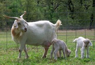 Kiko mommy and her babies!!!