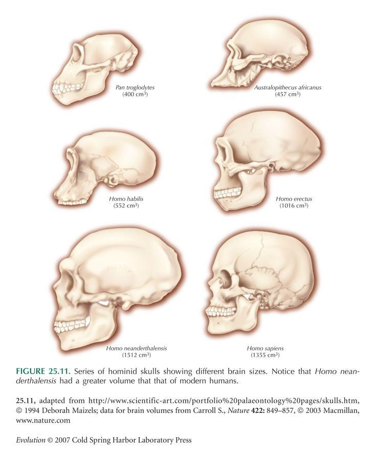 25+ best ideas about Brain Size on Pinterest   Google brain, Fun ...