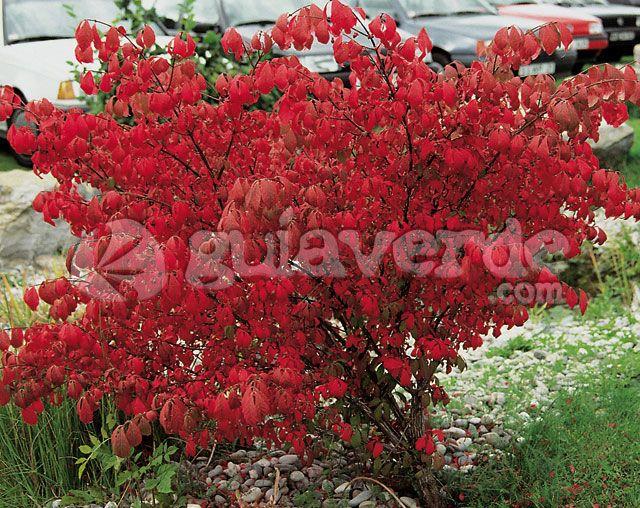 M s de 25 ideas nicas sobre arbustos de hoja perenne en for Arboles hoja perenne para jardin