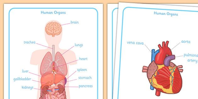 Human Body Organs Display Posters