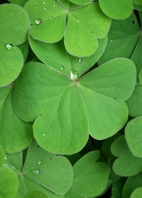 steel poster Other green nature flora clover fortune photograph leaves shamrock