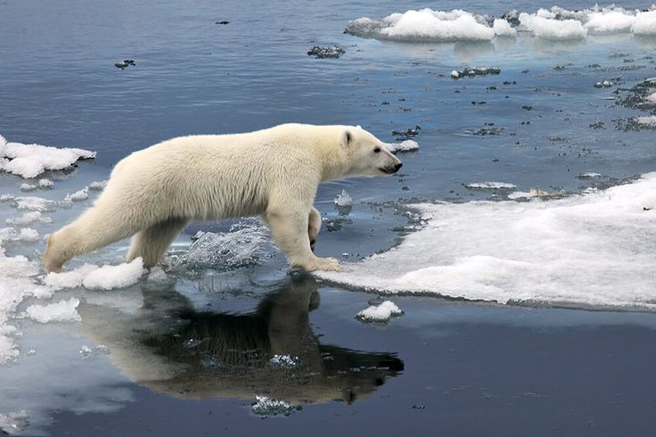 A polar bear crosses a melting iceberg.