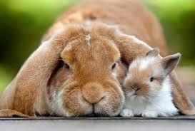 Bildergebnis für widder kaninchen