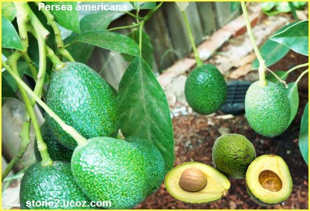 الافوكادو او الزندية او الافوكاتة او البيرسية الامريكية Persea Americana قسم الفواكه النبات معلومان عامه معلوماتية Fruit Avocado Americana