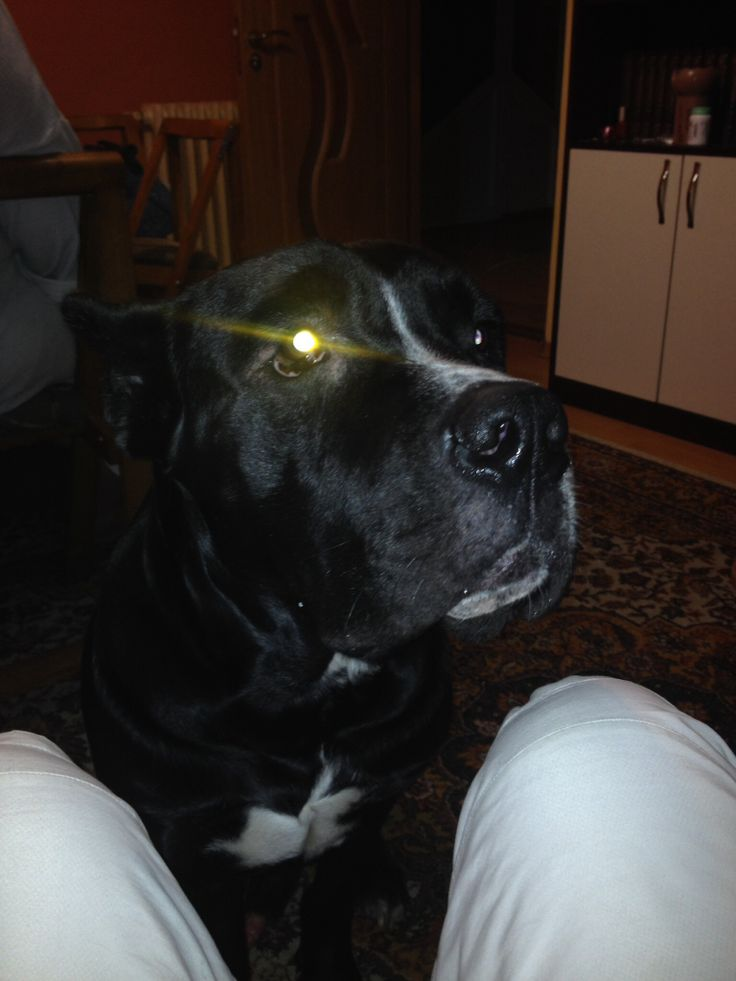 Can I have a bite daddy ? Cane Corso