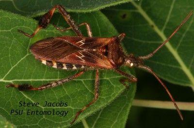 Western Conifer Seed Bug Adult