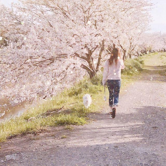 . すごい懐かしい写真が出てきた💭 . #シエル #愛犬 #わんちゃん #わんこ #ぱぴよん #パピヨン #papillon  #懐かしい写真 #めっちゃ #短足 #身長 #伸びんかな #今年の春 #桜 #いつもの #散歩道 #満開 #🐶 #🌸 #撮影 #母様 #安定 #笑 #早起きは三文の得
