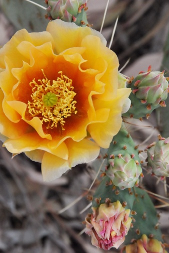 cactus flower from my Dad's yard