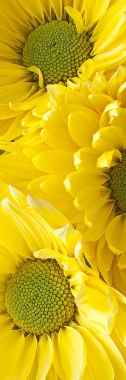 Yellow Daisies - remind me of my mum's shop. She grew tonnes of these