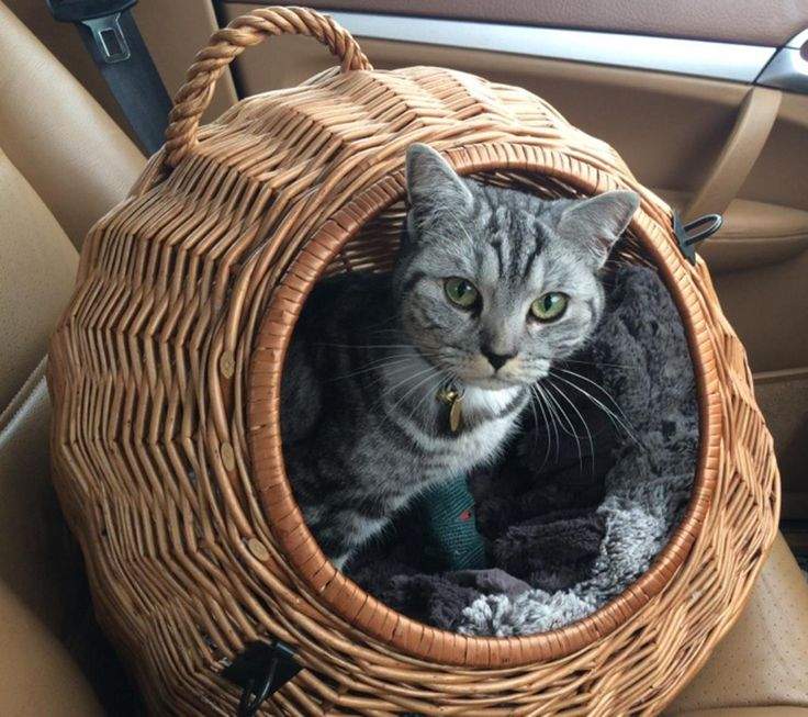 Lulu British Shorthair who climbed into a delivery van outside her home. Jumped out at company depot and ran off onto a trading estate. We recovered her 6 days later with a broken leg