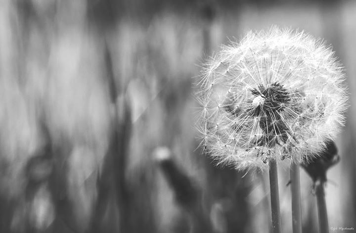 Melancholy can be hidden in nature. Depends on what you can see in a simple dandelion. #blackandwhite #nature #dandelion #melancholy   https://www.facebook.com/WasikowskiPhotography?fref=ts