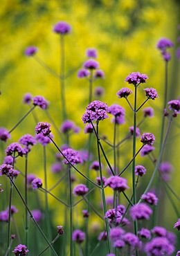 Verbena bonariensis.  Great movement with a breeze.