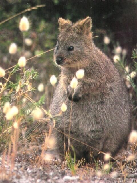 Quokka Western Australia The Happiest Animal On Earth - 15 photos that prove quokkas are the happiest animals in the world