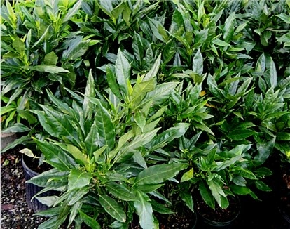 Dwarf aucuba low growing evergreen shrub with large leaf for Low growing plants for landscaping
