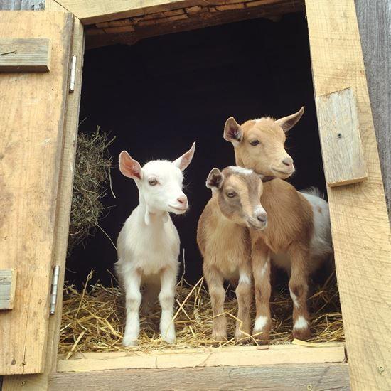 Raising goats, Goats and Stalls on Pinterest Raising Goats
