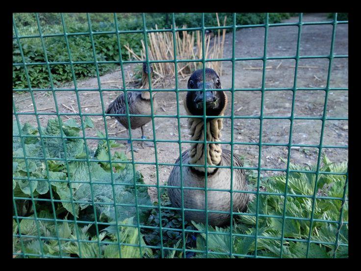 Duck in Pilsen ZOO... (by Kami) 24.4.2014