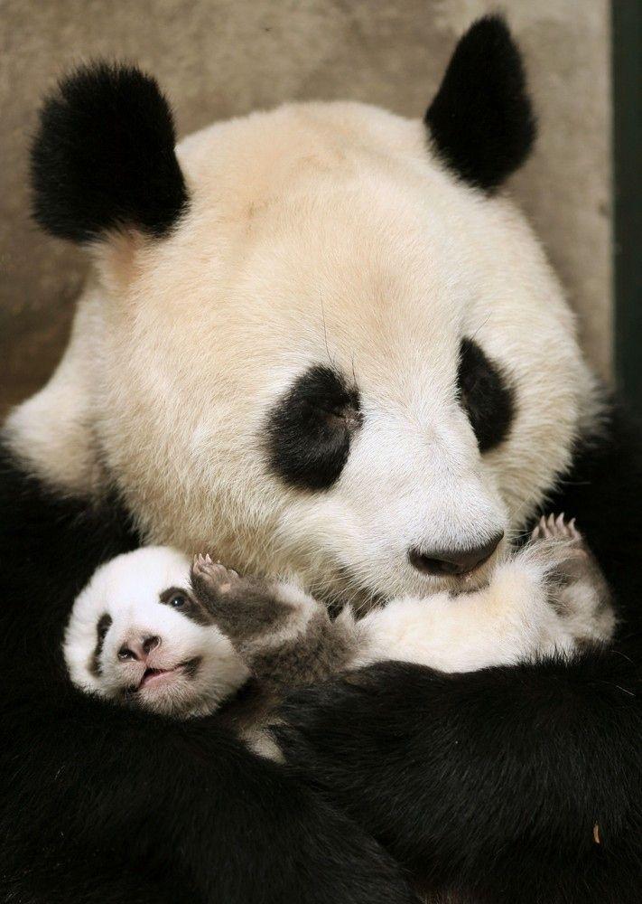 A giant panda hugs a cub at Chengdu Research Base of Giant Panda Breeding in Chengdu, China.: Baby Pandas, Pandas Baby,  Pandas Bears, Red Pandas, Adorable Pandas, Coon Bears, Giant Pandas, Mom Hugs, Pandas Mom