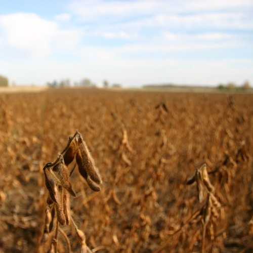 Soybeans are one of the main crops grown in Canada. In Ontario during 2010, 2.4 million acres of soybeans were seeded, making them the largest row crop in the province.