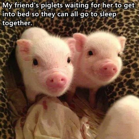 These little piggies will cuddle with your little piggies.
