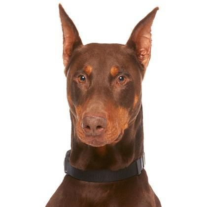 Dobermann a l'adoption