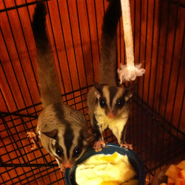 sugar glider baby glider babies sugar gliders want future pets 3 ...