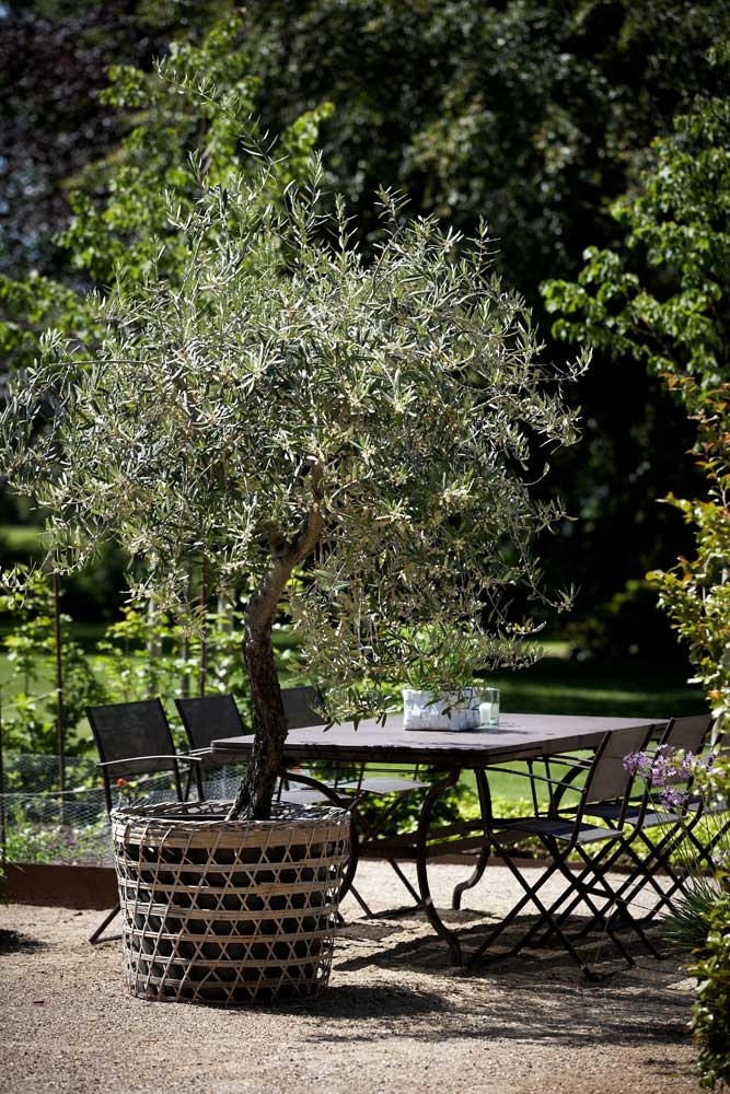 Olive tree on patio in container
