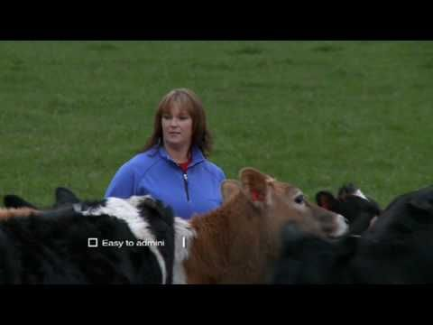 Procalf is a potent additive for calf milk which will increase digestion of calf feed and allow calves to grow faster. Procalf also acts on the digestive system of calves to mature them earlier for digestion of pasture and hard feed, leading to earlier weaning.ProCalf should not cost less than $5 per calf to weaning.