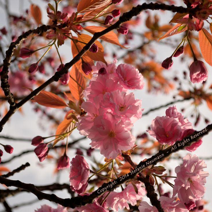 ZARTE SCHÖNHEIT  --  #Hanami in Hamburg, Deutschland  --  von Steffi auf #KokopelliBeeFree Media am 2014-04-23  --  Tags:  #KBFPhotography, #JapanischeKirschbluete
