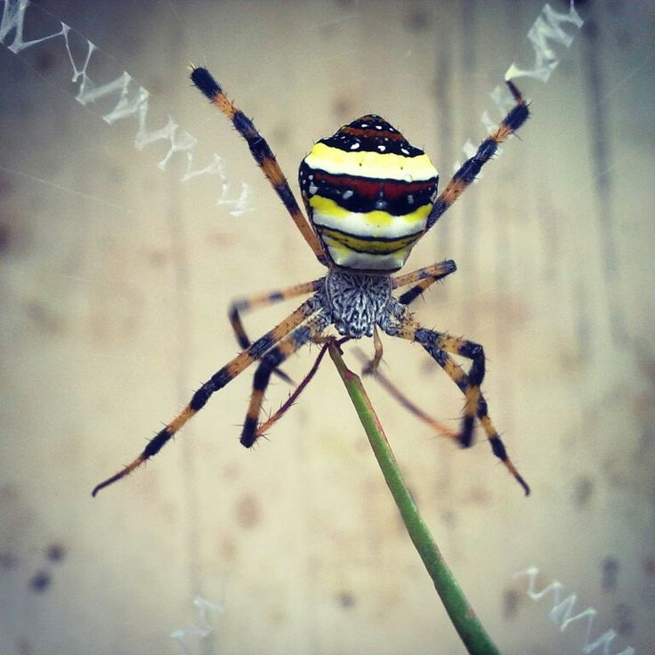 #Argiope#Bruennichi#A#wasp#spider#in#its#full#beauty#in#our#garden#picofday#designer#web#bugs#insects#small#animals#nature#colors#creative#green#yellow#black