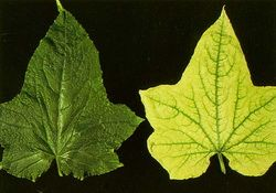 When leaves on a plant turn yellow WITH green veins (as in the image on the left which is from the Texas A & M Aggie site), regular fertilizer will not improve the color. This condition usually means the plant needs iron. Yellow leaves and green veins are often the result of iron chlorosis.