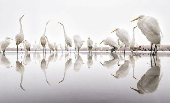 Great Egrets by Bence Máté
