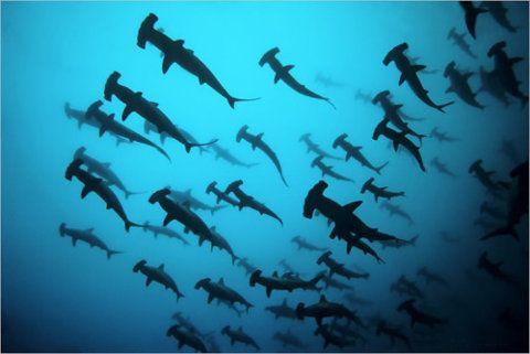 My dream!: Hammerhead Sharks, Buckets Lists, Hammered Head, Schools, Scubas Diving, Sea, Photography, Hammerheadshark, Animal