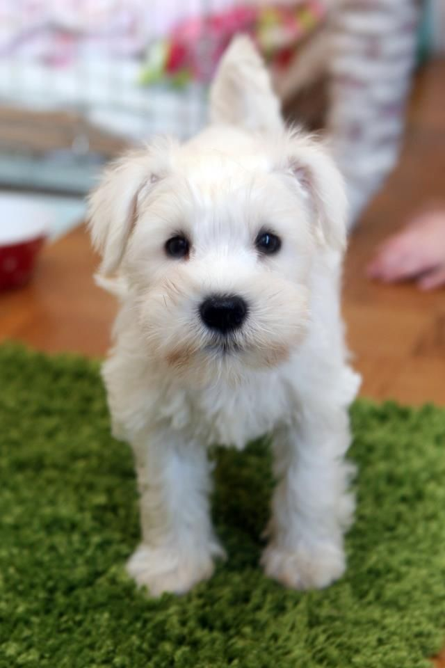 Murphy - our new little baby girl!  She's 8 weeks old and is a white Miniature Schnauzer.