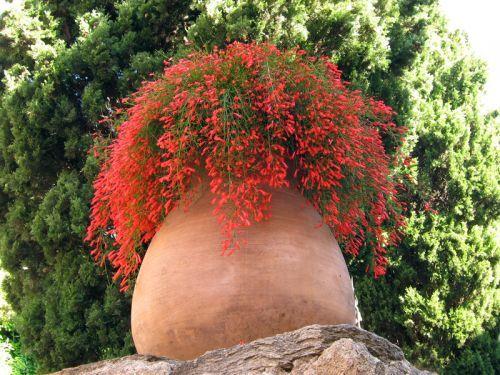 Russelia equisetiformis , la russélie fausse-prêle est une plante vivace, semi-arbustive exotique, que l'on peut cultiver en climat méditerranéen. Bien...