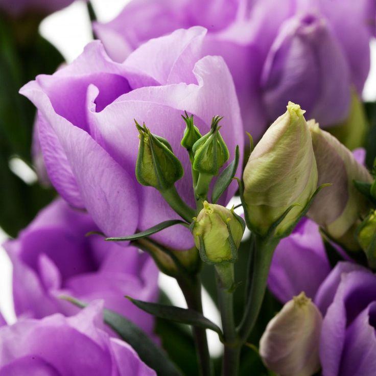 Evanthia Seeds&Plants  Lisianthus Stand Alone Carice Lavender.  Rich Lavender, medium Sized, single flowers.