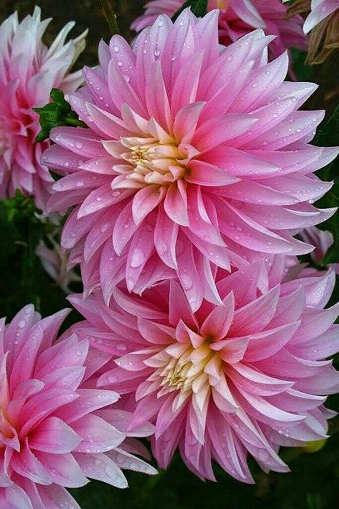 Pin By Cheryl Watkins On Flower Arrangements With Images Beautiful Flowers Dahlias Garden Amazing Flowers