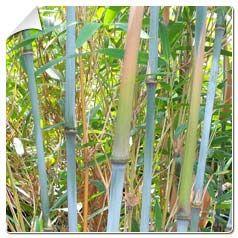 bambou-fargesia-papyrifera-blue