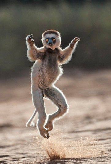 Dale Morris, the photographer managed to get very close to the charismatic marsupials, which are endemic to Madagascar.A close up of a young lemur leaping across the ground in Madagascar, Africa.