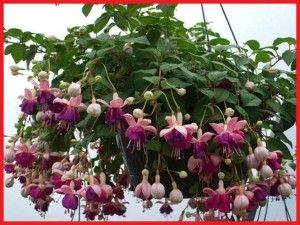Hasil gambar untuk bunga fuchsia