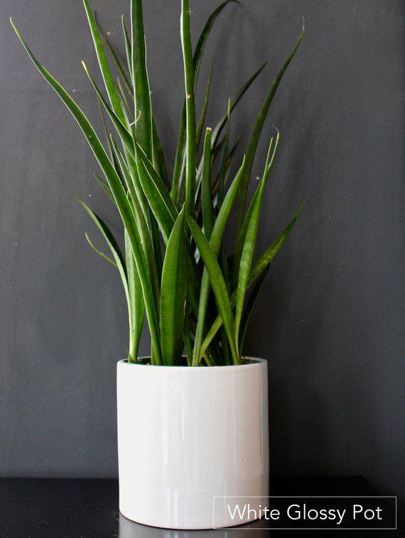 Beautiful Sansevieria Parva Rare House Plants Indoor Etsy House Plants White Planters Snake Plant