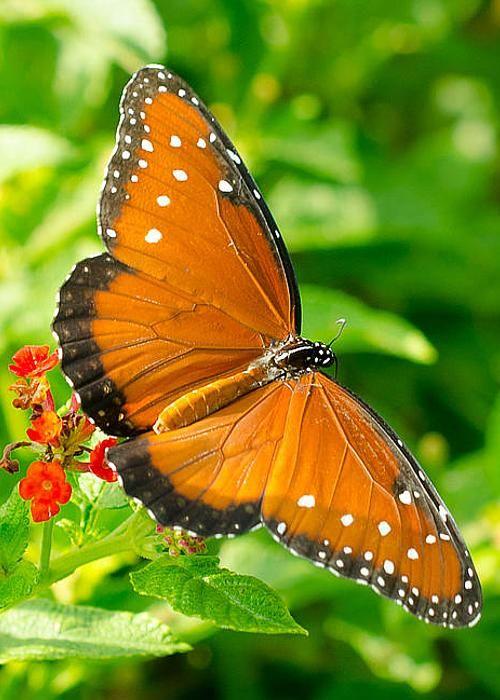 Queen Butterfly by Debbie Karnes