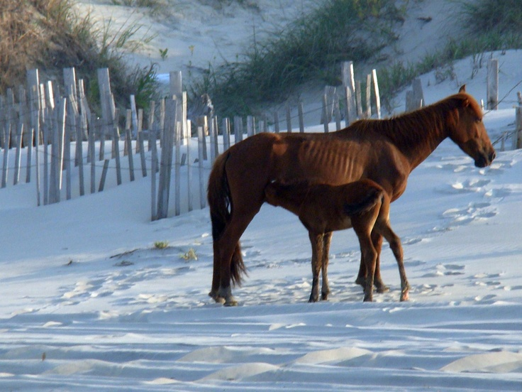 Mother and Child in Corolla. Corolla Wild Horses on the Outer Banks of NC. www.VROBX.com