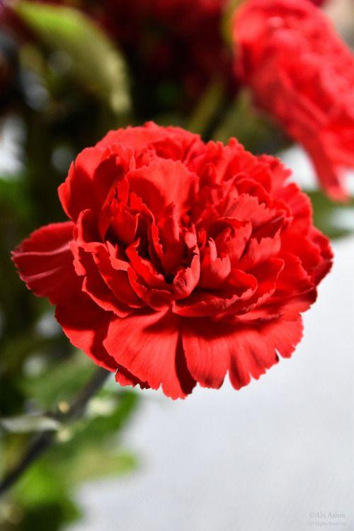 Red Carnation by Abi Ashra (Tumblr) January flower
