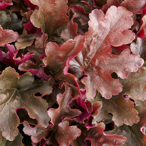 """DOLCE® CINNAMON CURLS (Heuchera hybrid): A 2014 introduction from #ProvenWinners.This classic perennial heuchera has a neat, compact habit with bright magenta ruffled leaves. Works well in part sun to shade. Grows 8-12"""", flower height 18"""". http://emfl.us/BmGd"""