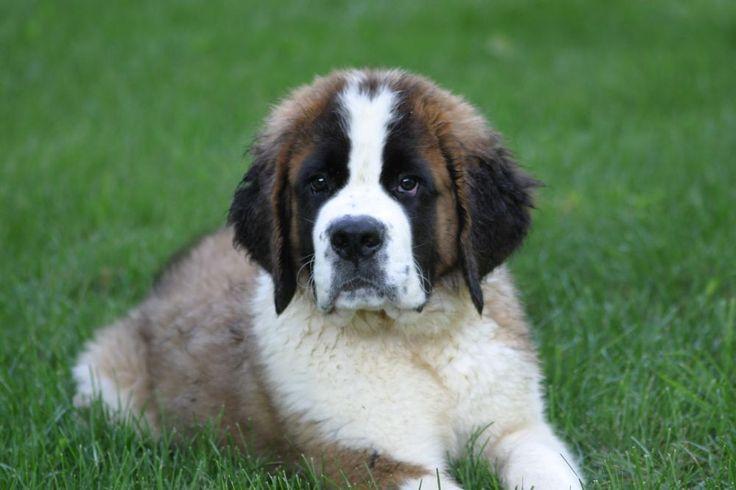107 best images about chiens♥St-Bernard♥Rottweiler♥Bouvier