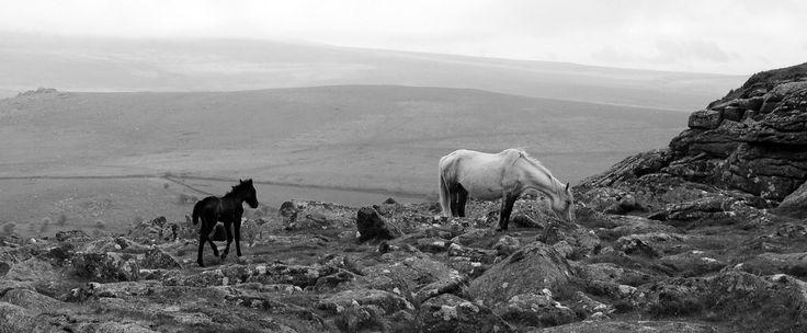 Wild Ponies on Dartmoor - Explore 24.1.13