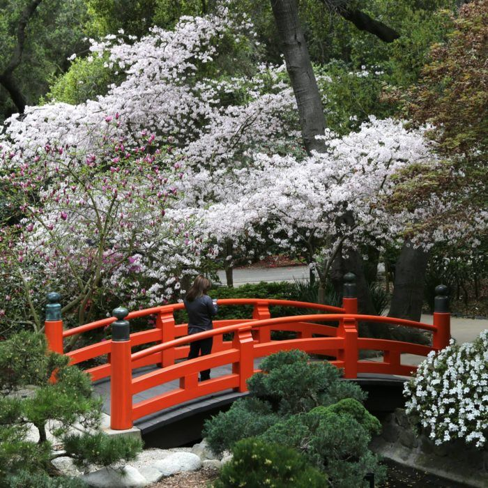 The One Magical Place In Southern California To See Cherry Blossoms This Spring Cherry Blossom Cherry Blossom Season Blossom