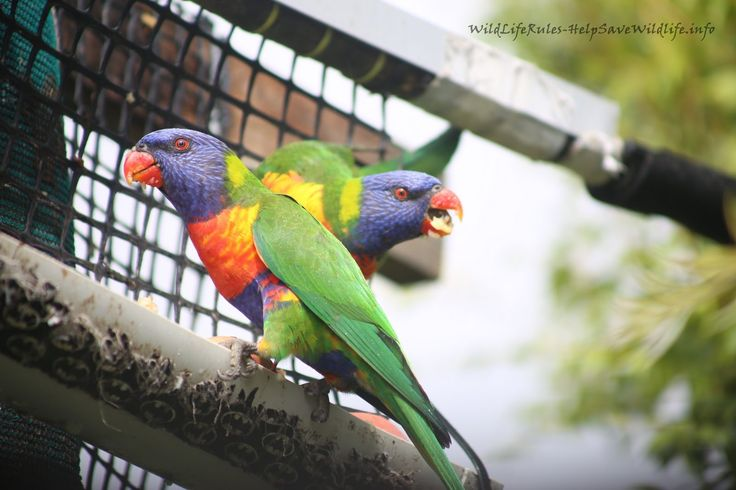 Lorikeets backyard blog post view more pics.. http://www.wildliferules-helpsavewildlife.info/2017/02/lorikeets-backyard-09022017.html #lorikeet #lorikeets #birds #wildliferules